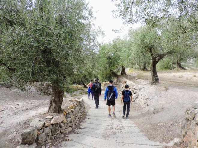 Olivos cerca de Alcolea