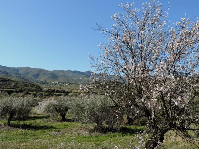 Almendros en flor del Cortijo de la Noria